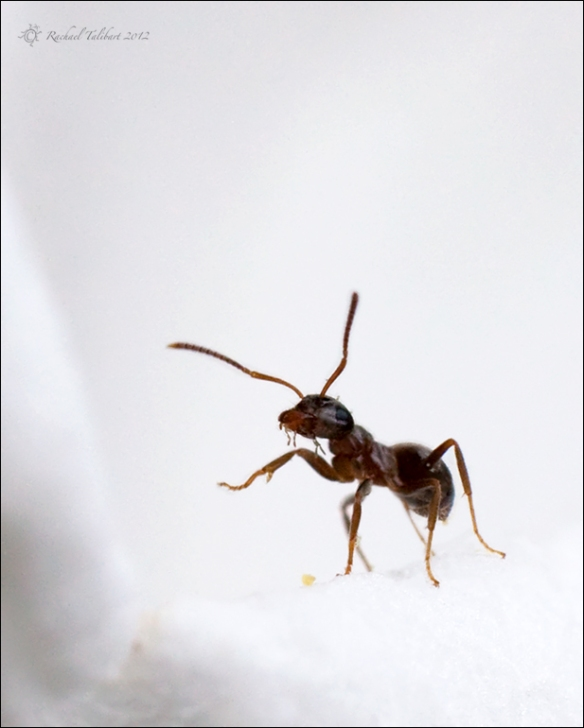 Ant appearing to wave