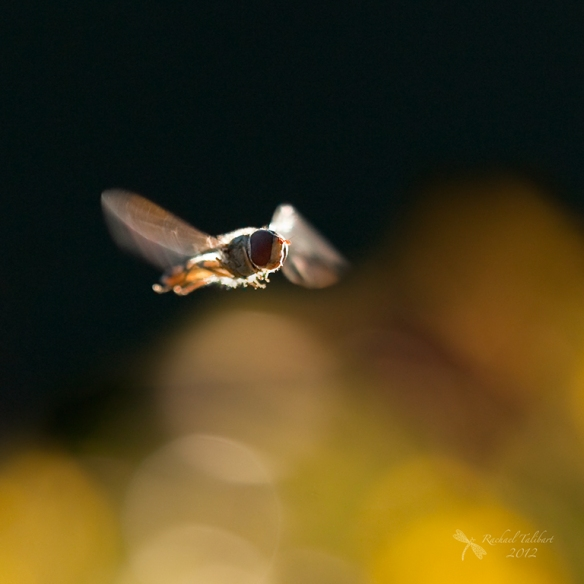 insect in flight