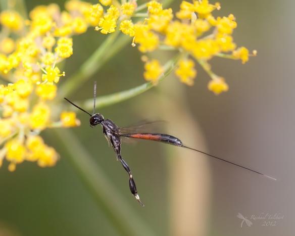 Ammophila