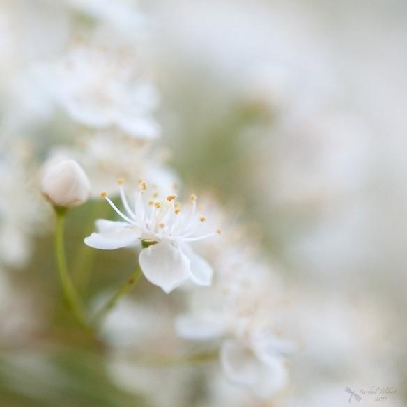 pyracantha blossom