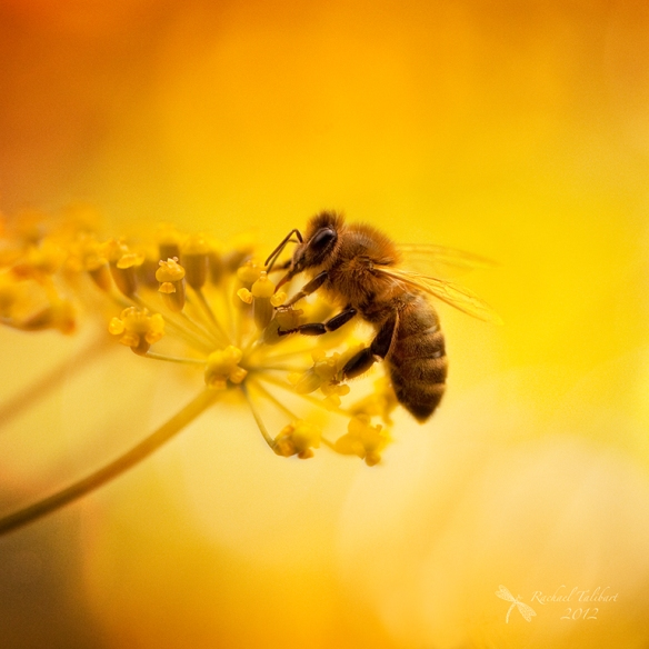 A honey bee on fennel in summer light