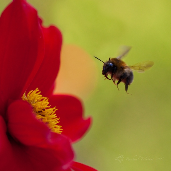 bumble bee and dahlia
