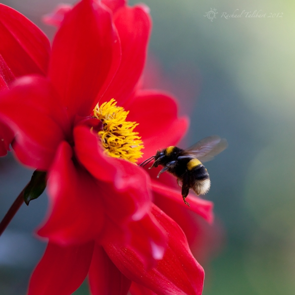 bumble bee approaching dahlia flower