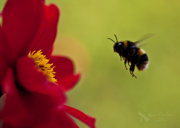 bumble bee approaching dahlia bishop of landaff