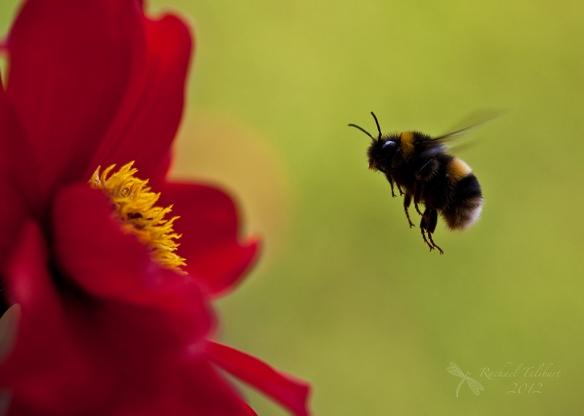 bumble bee approaching dahlia bishop of landaff