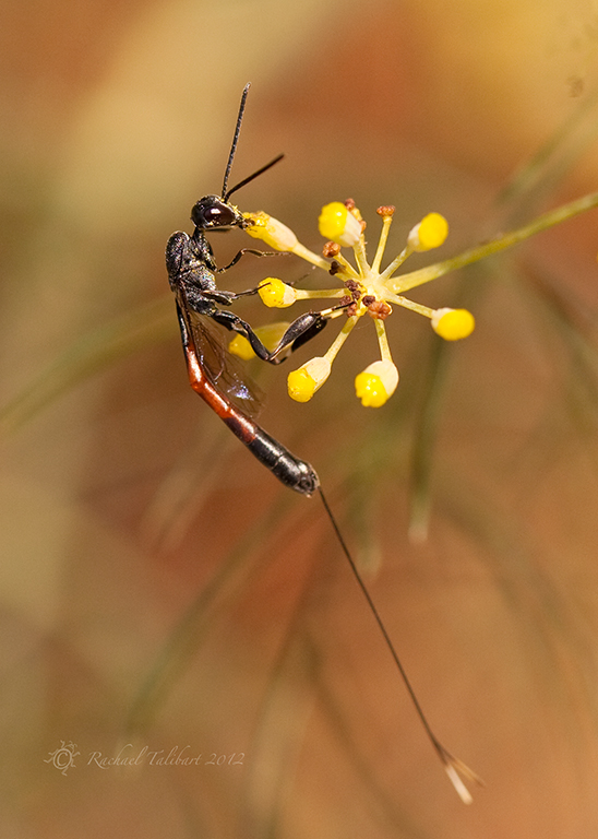 parasitic wasp on fennel