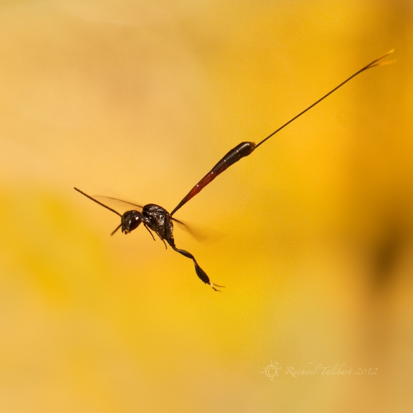 wasp in flight