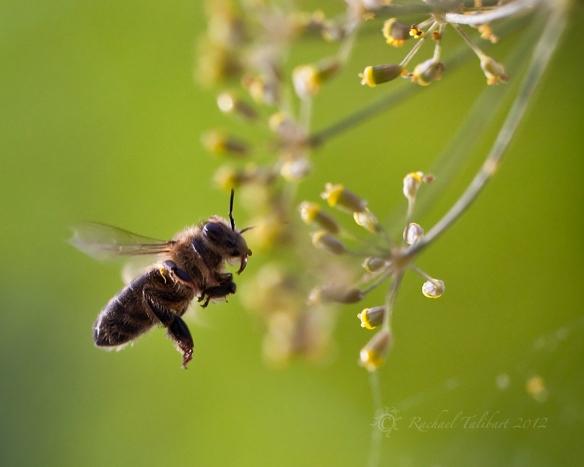 bee flying towards fennel flowers