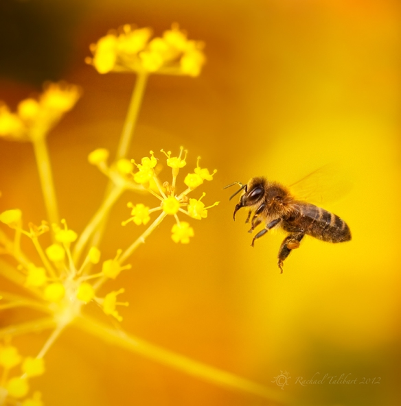mid-flight bee