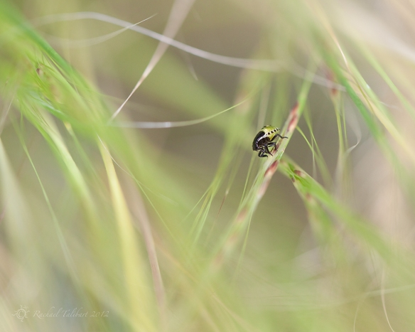 second instar green shield bug in grass