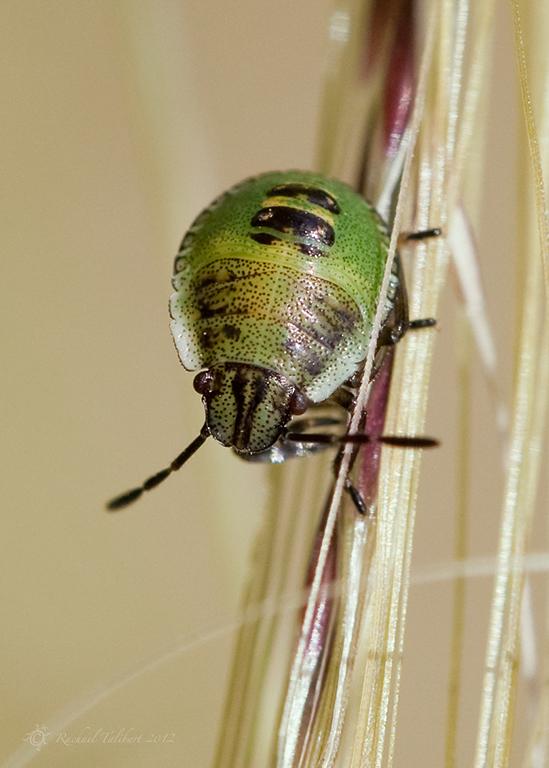 palomena prasina third instar