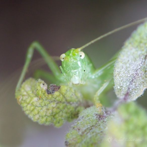 speckled bush cricket