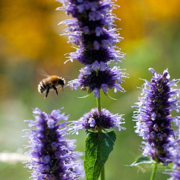 carder bee and purple flowers
