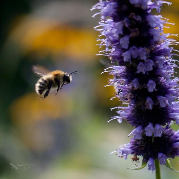 a carder bee in flight approaching purple flower