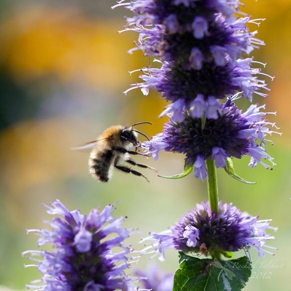 a carder bee on purple flower