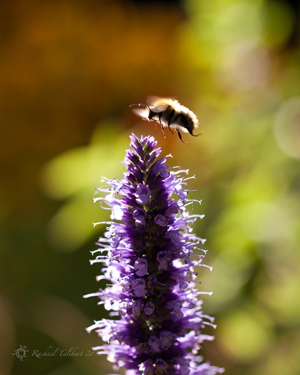 carder bee hovering over spearmint