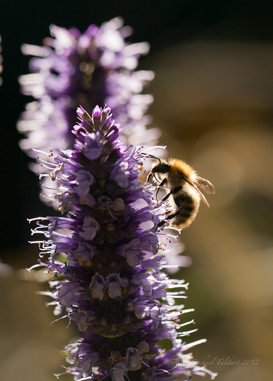 carder bee on spearmint flowers