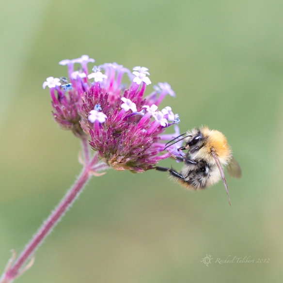 bee on purple flowers
