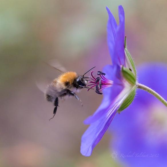 Carder bee on geranium