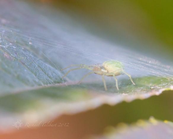 green spider in silk