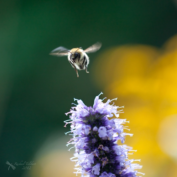a carder bee takes off from a purple flower