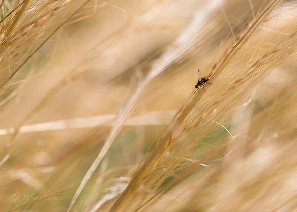 fly in golden grass