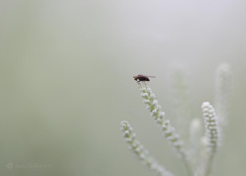fly on santolina