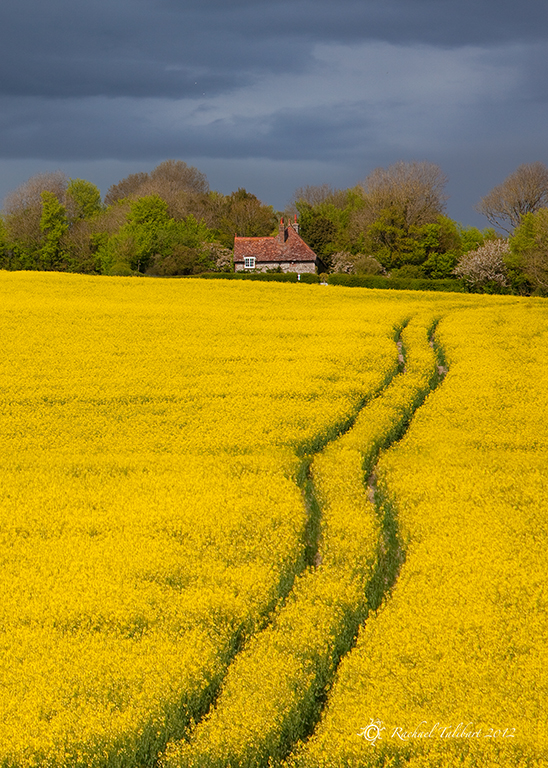 cottage and rapeseed field, Alfriston, East Sussex