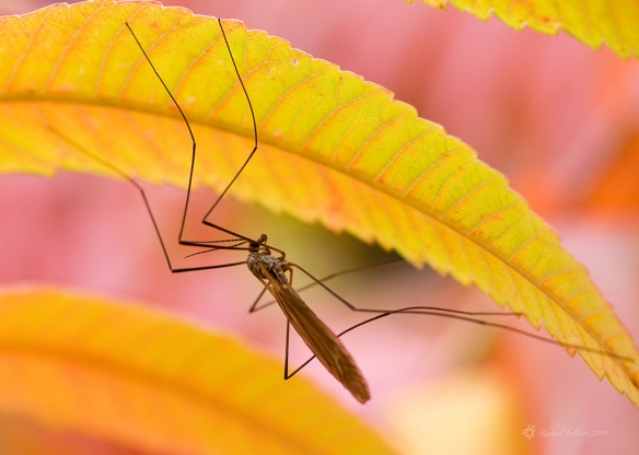 crane fly on sumach
