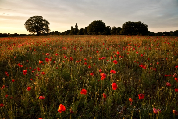 poppy field in evening light