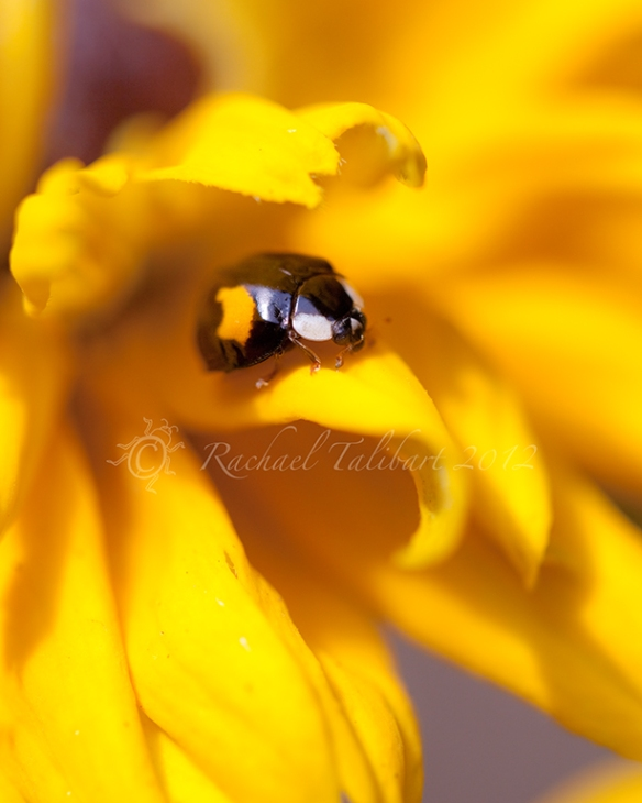 ladybird on yellow flower