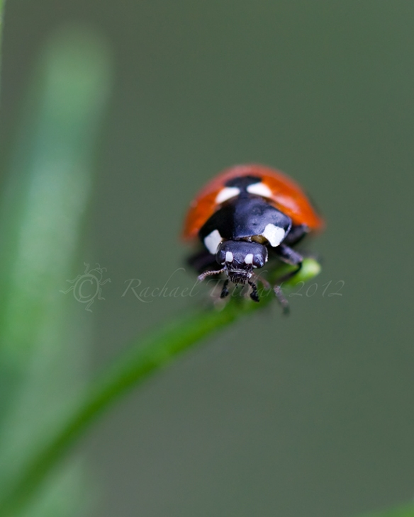 ladybird on stem