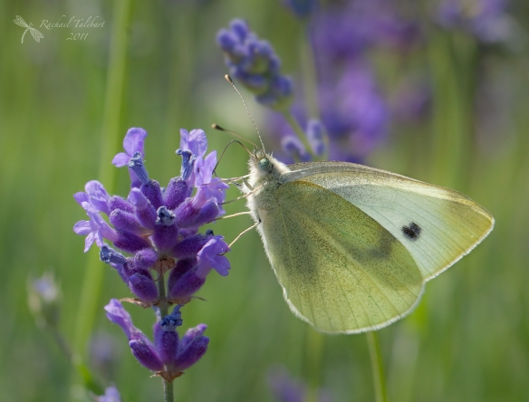 insect on lavender