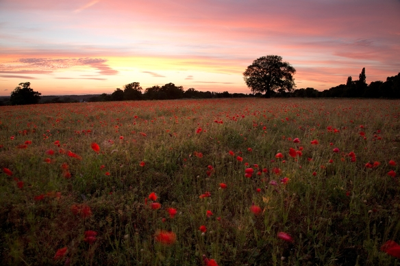 poppy field at dusk