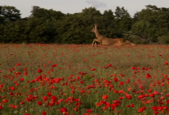 deer in poppy field