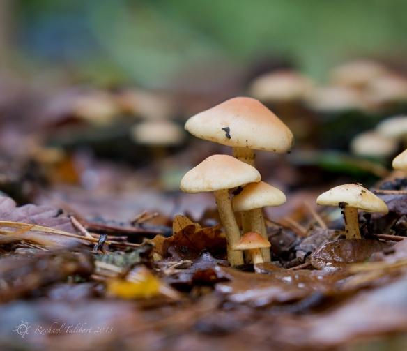 mushrooms in leaves
