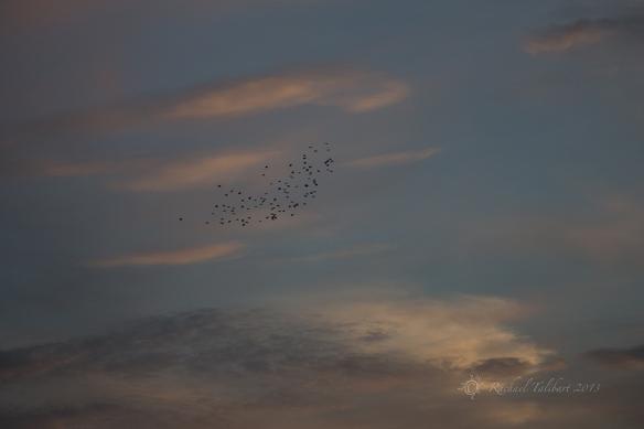 starlings flocking
